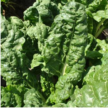 Semilla Acelga Verde (100 a 110 semillas)